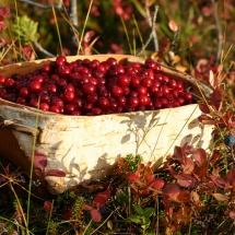 berry picking-Kopikartano