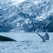 [alt]whale watching in Norway