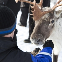 Meet friendly reindeer