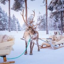 Reindeer sledding across the snow