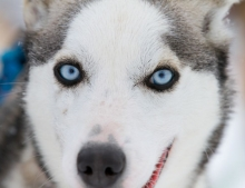 Enjoy dog-sledding at Camp Tamok one of our fantastic excursions from Tromso