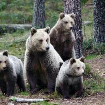 Bear-watching in Finland