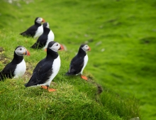 Faroe Islands puffins