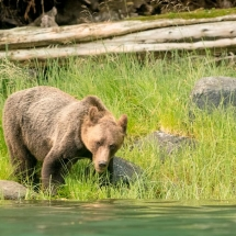 Grizzly on the shoreline