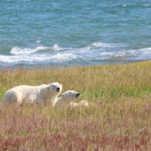 Polar bears on tundra shore line