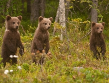 Bear watching and wildlife holiday vacation in Finland